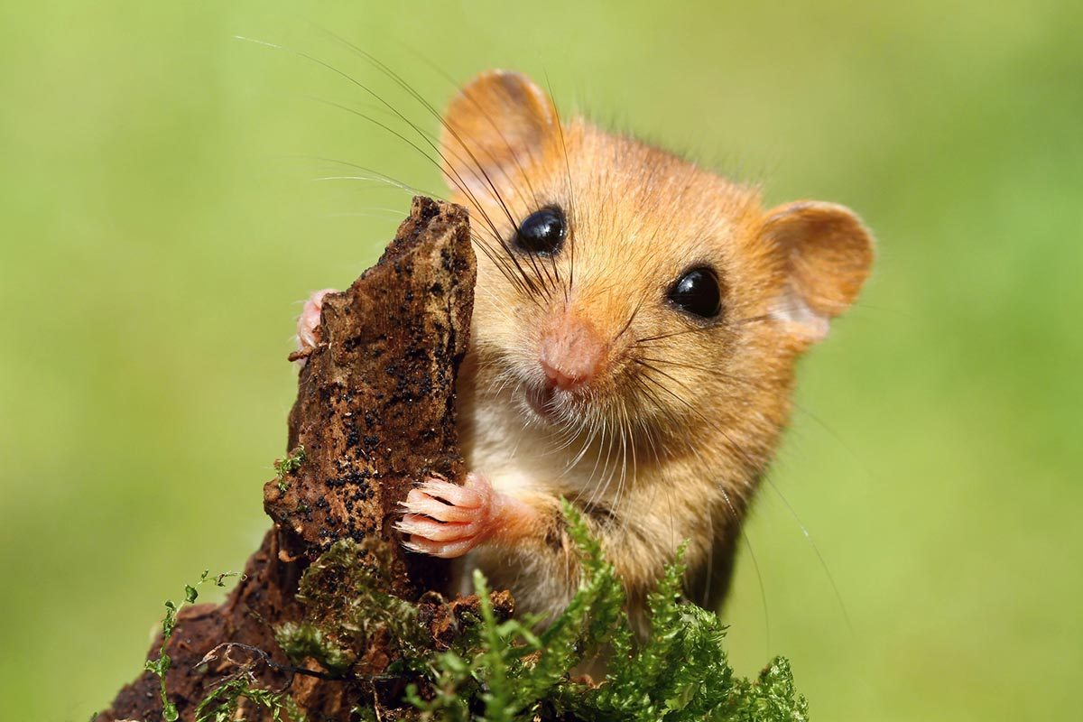 Image result for dormouse