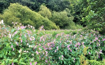 Invasive weeds, Japanese Knotweed