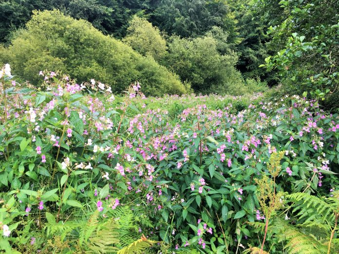Invasive weeds, Japanese Knotweed